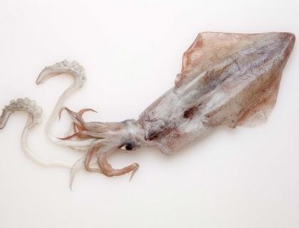 Kalmary zwyczajne
